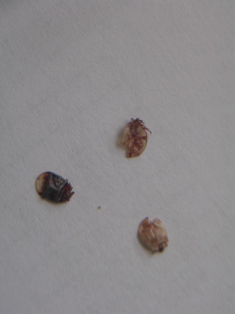 Identification c 39 est quoi cet insecte for Abeilles mortes dans la maison