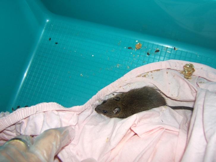 rats ou souris sauvages empoissonnement. Black Bedroom Furniture Sets. Home Design Ideas