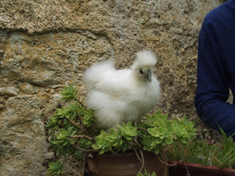 Poussins poule soie for Poule soie blanche prix