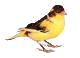 Canarynet Forum