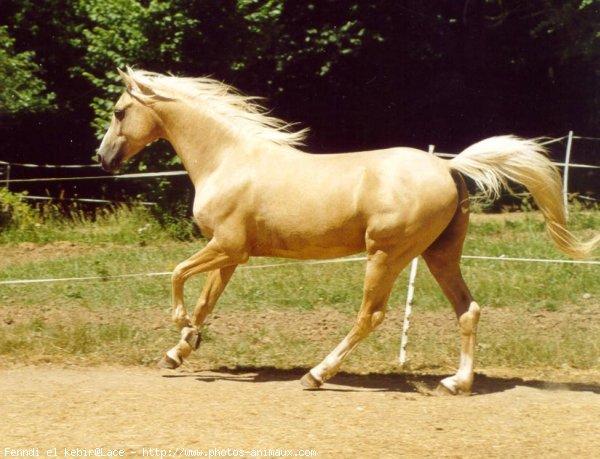 Fenndi el kebir etalon palomino papiers race cr me - Salon du cheval montpellier ...