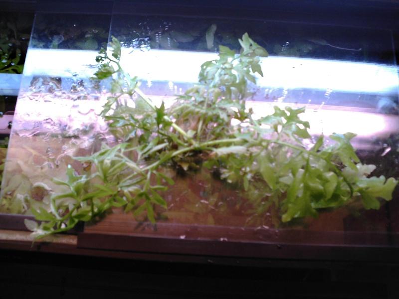 Forum message plante recherche plante flottante for Recherche plante