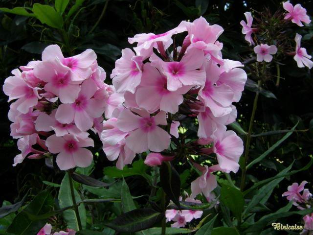 Phlox dans Fleurs et plantes 640_p713