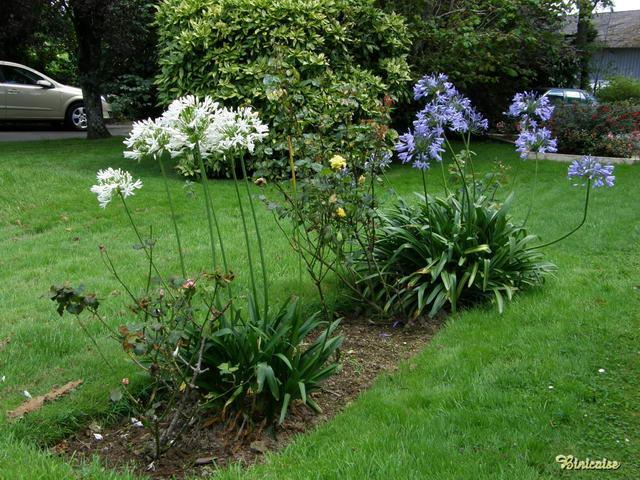Agapanthes du Parc. dans Fleurs et plantes 640_p716