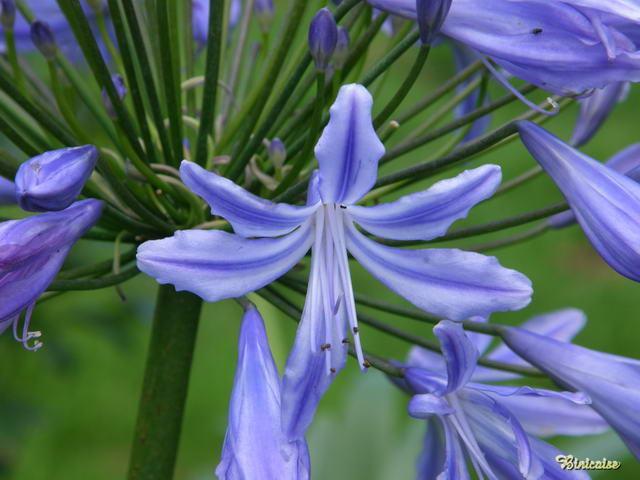 Fête nationale. dans Fleurs et plantes 640_p719