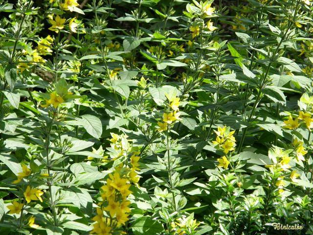 Lysimachia punctata. dans Fleurs et plantes 640_p721