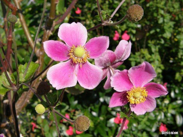 Anémones du Japon. dans Fleurs et plantes pa032211