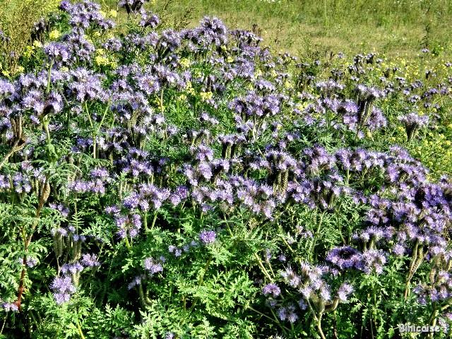 Phacélie. dans Fleurs et plantes pa052214