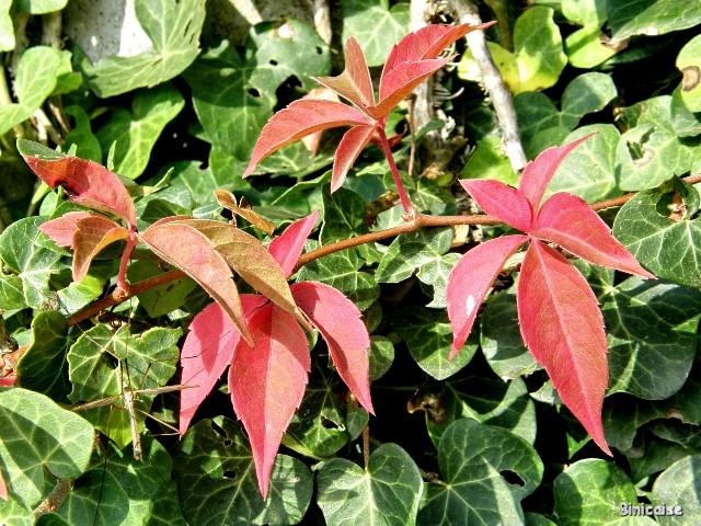 Vigne vierge automnale. dans Fleurs et plantes pa052215