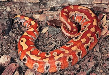 python curtus is a species of pythonid a nonvenomous sn