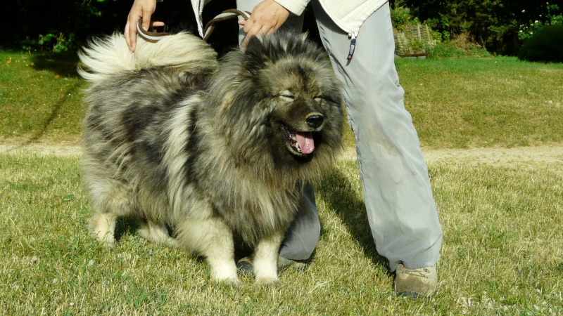 belle keeshond spitz loup 9 ans spa de poitiers 86 adoptee. Black Bedroom Furniture Sets. Home Design Ideas