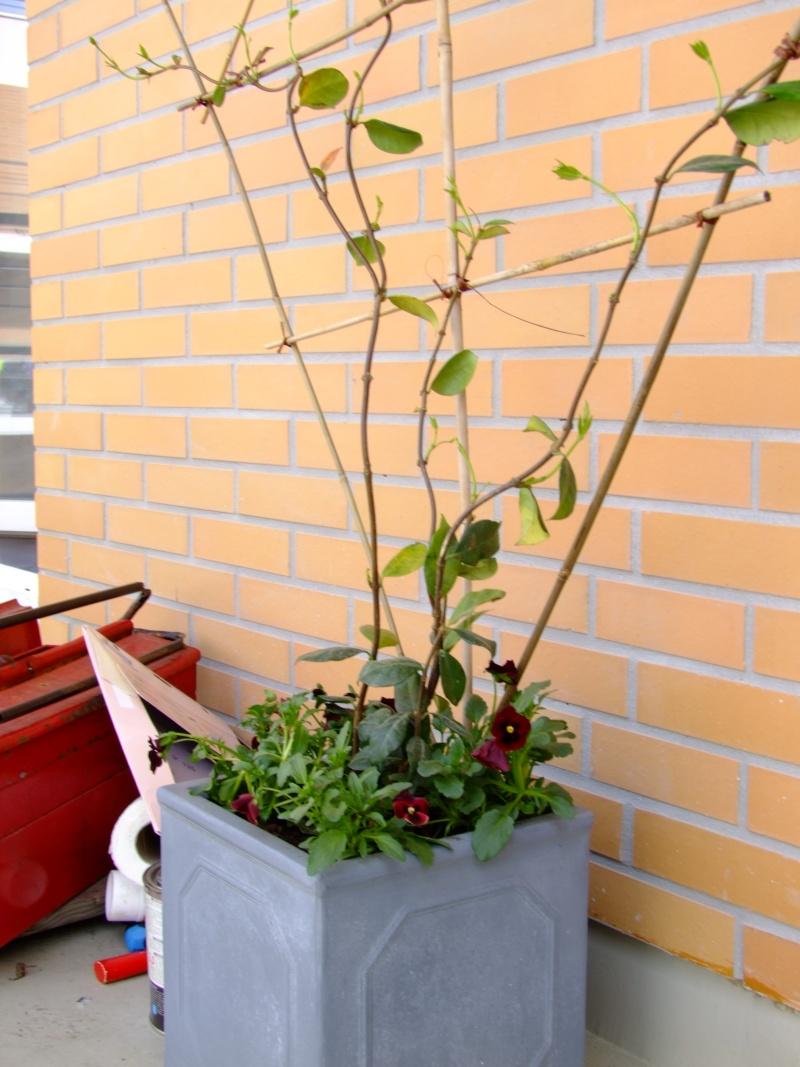 Forum des chats jardinage plantes nature et environnement mon modeste coin - Jasmin etoile en pot ...