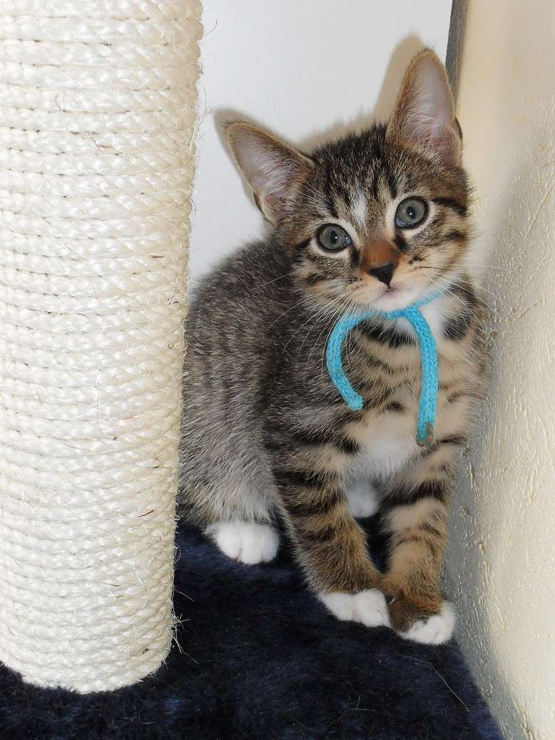 Sweety chaton 2 mois tigr et blanc 60 - Combien de portee par an pour un chat ...