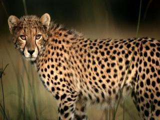 cheeta11.jpg