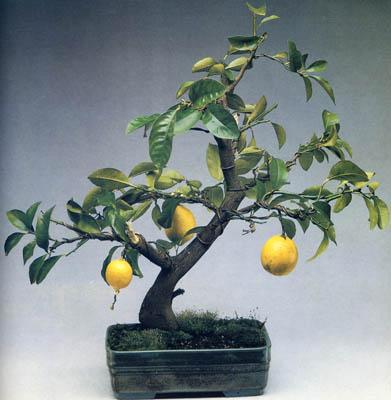 Bonsai agrumi for Bonsai limone vendita