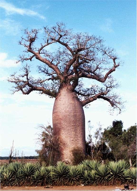 baobab13.jpg