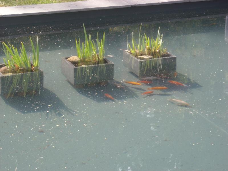 Mes 3 nouveaux tosai - Bassin poisson rouge sans filtre roubaix ...