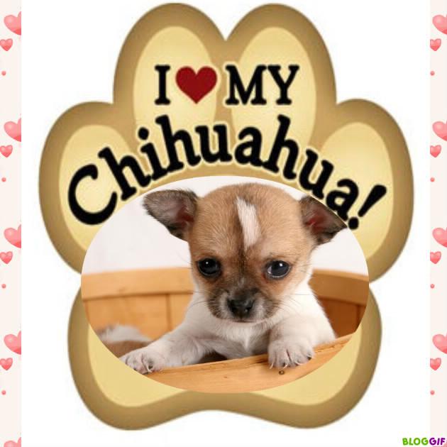 I love my CHIHUAHUA 3