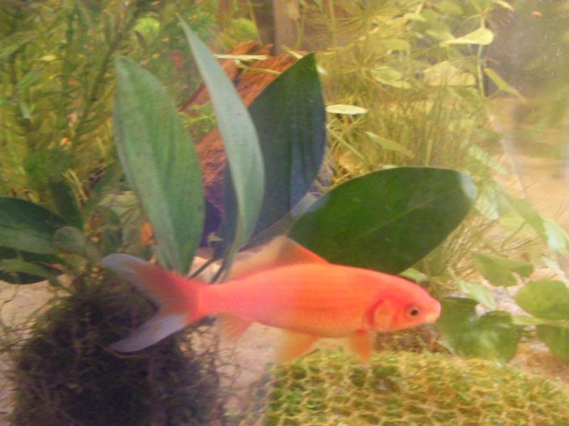 Un poisson rouge noir for Koi et poisson rouge